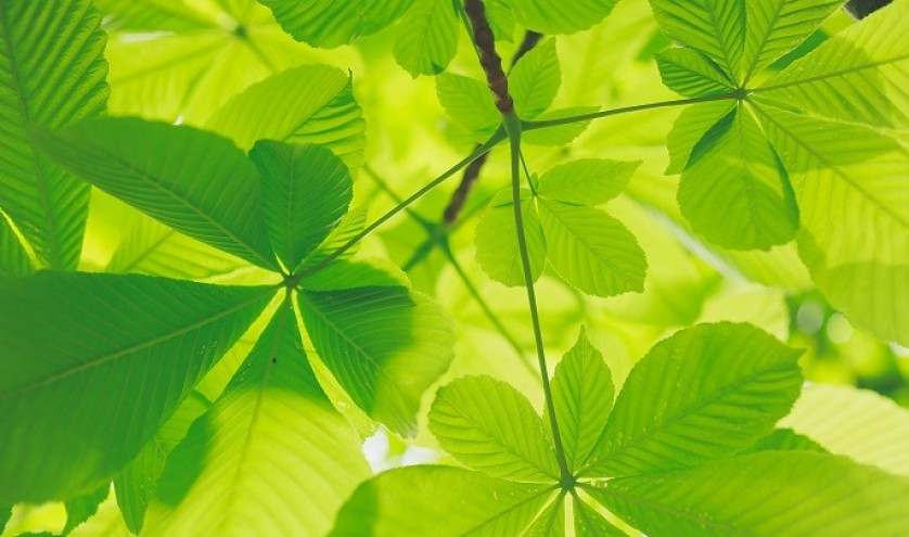 Leaves Photosynthesis